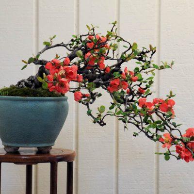 cây hoa mai đỏ