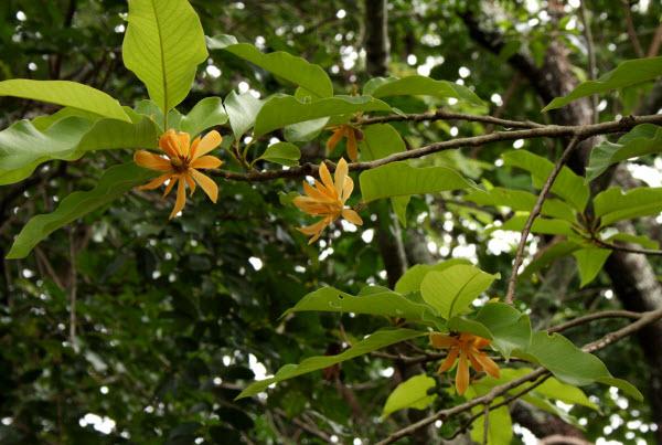 cây-ngọc-lan-vàng4 Bán Cây Ngọc Lan Vàng giá rẻ tại Hà Nội