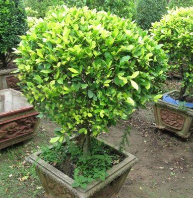 Đặc điểm cây gừa