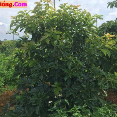 Cây Bơ Công Trình – Vườn Cây Hòa Bình