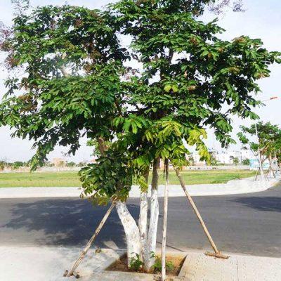 đặc điểm cây bằng lăng ổi