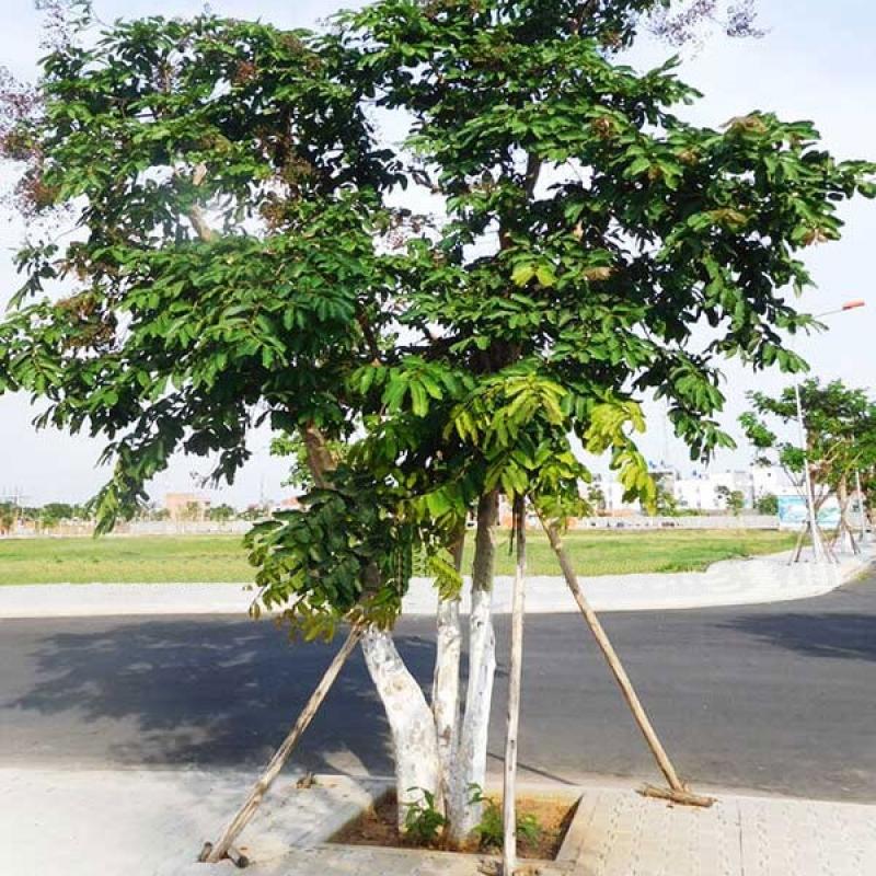 đặc điểm cây bằng lăng