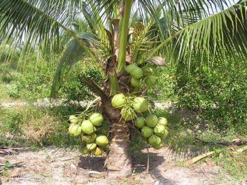 đặc điểm cây dừa xiêm