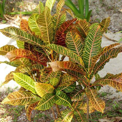 Cây Cô Tòng Lá Mít – Vườn Cây Hòa Bình