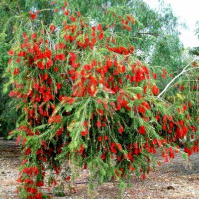 đặc điểm của cây liễu đỏ