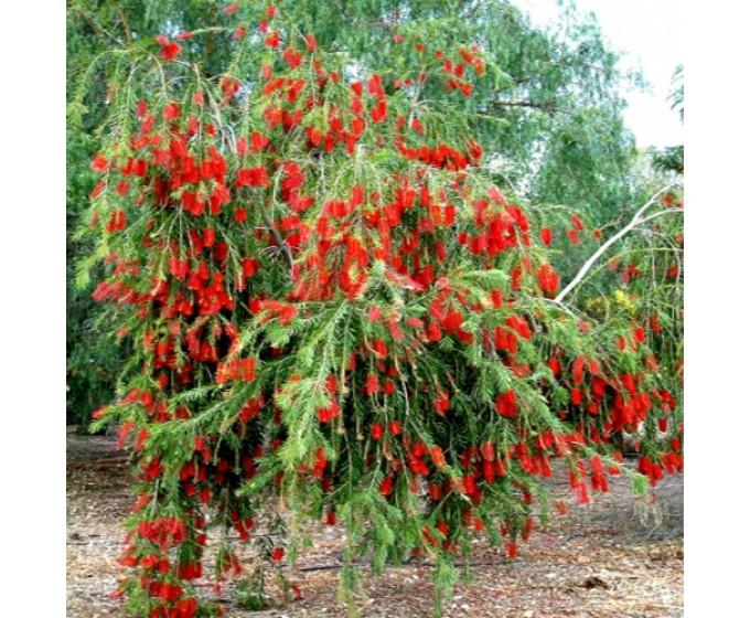 mua-cây-liễu-đỏ-giá-rẻ-Hà-Nội Bán Cây Liễu Đỏ Đô Thị - Giá rẻ Hà Nội