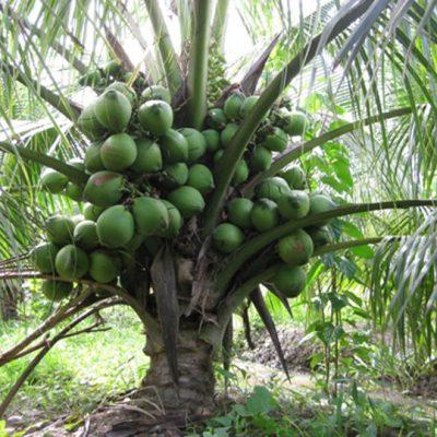 Bán Cây Dừa Xiêm giá rẻ Hà Nội
