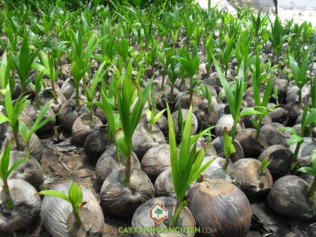 cách trồng cây dừa xiêm
