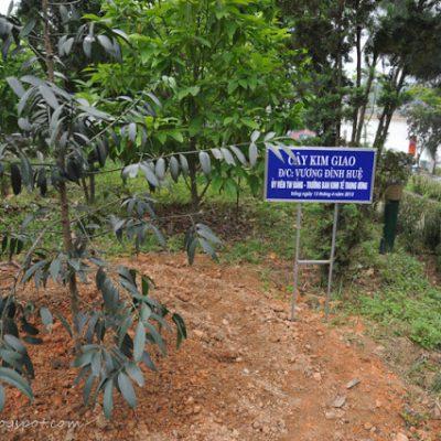 Bán cây Kim Giao – Vườn Cây Hòa Bình