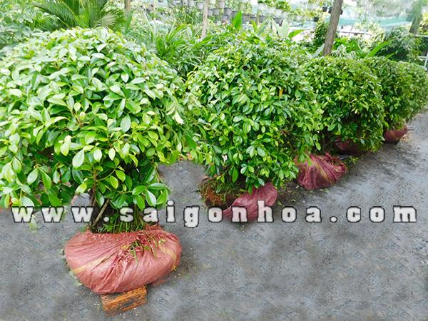 cây-gừa-công-trình Bán Cây Gừa Hình Cầu - Cây Công Trình Hà Nội