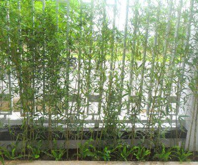 Cây Trúc Quân Tử – Cây Phong Thủy Giá rẻ