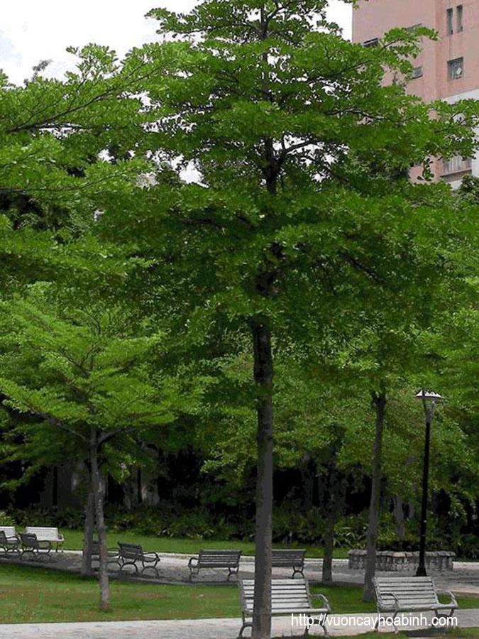 cay-chieu-lieu-1 Cây Chiêu Liêu Công Trình tại Hà Nội