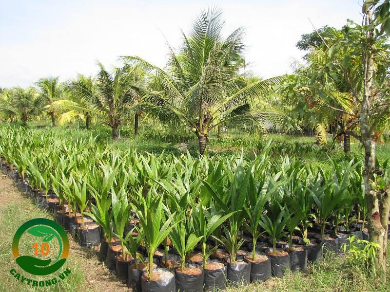 mua cây dừa xiêm ở đâu giá rẻ Hà Nội