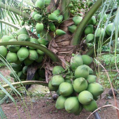 tác dụng cây dừa xiêm