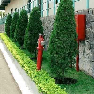 Cây Tùng Búp – Mua, bán cây trồng tại Hà Nội