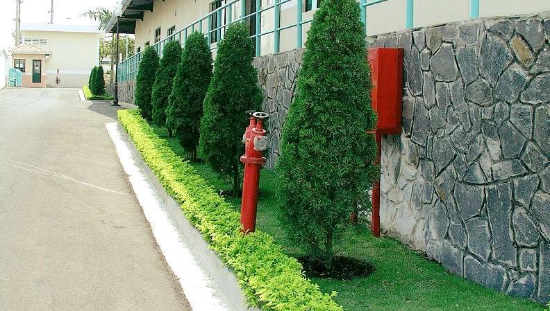 cây-tùng-búp-đô-thị Cây Tùng Búp - Mua, bán cây trồng tại Hà Nội