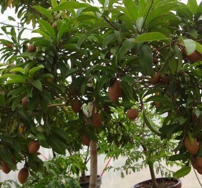 Cây Hồng Xiêm – Cây Ăn Quả Miền Bắc