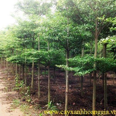 Cây Bàng Đài Loan – Cây Công Trình
