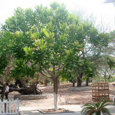 Đặc điểm cây bàng vuông