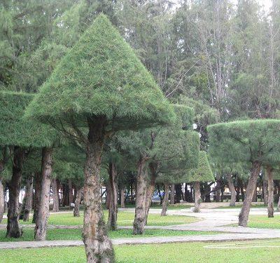 Cách trồng cây phi lao