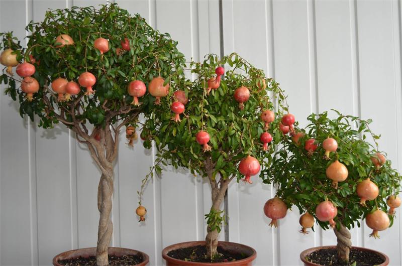 Mua cây Lựu Hạnh giá rẻ Hà Nội