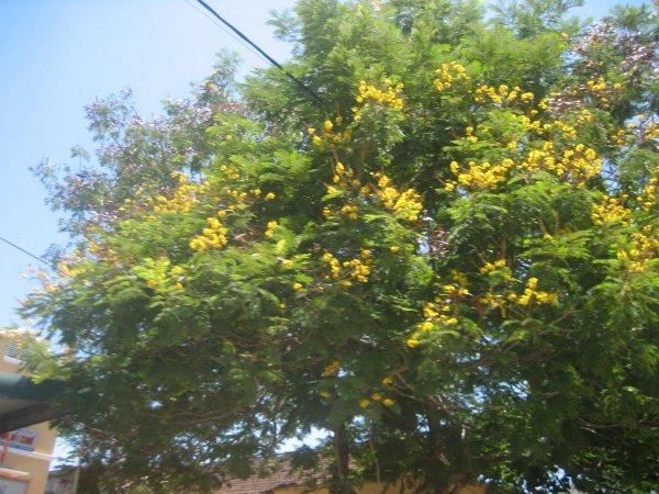 cây-bàng-đài-loan Cây Bóng Mát - Vườn Cây Hòa Bình