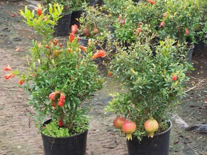 cách trồng cây lựu hạnh