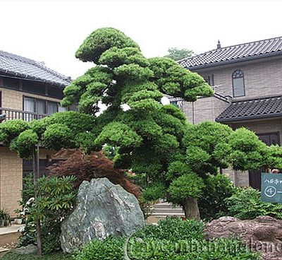 Bán cây Tùng Trình La Hán – Cây Công Trình