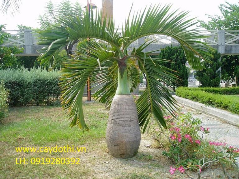 cây-cau-sâm-banh Cây Cau Sâm Banh - Cây Công Trình