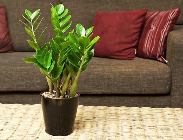 Cây-Chầu-Bà-Để-bàn Các loại cây trồng phong thủy trong nhà