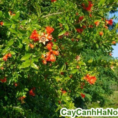 Bán cây Lựu Hạnh – Cây Công Trình