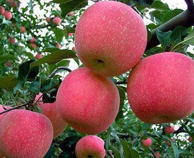 tác dụng cây táo tây