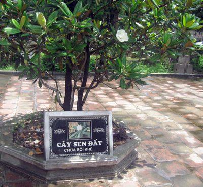 Cây Sen Đất – Cây Cảnh Phong Thủy