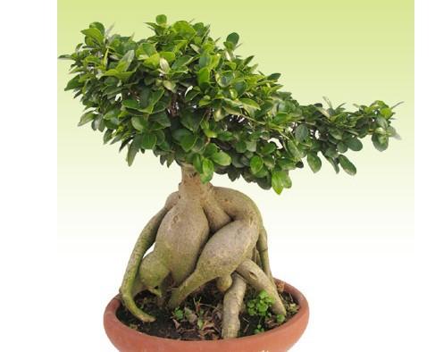cây da nhật