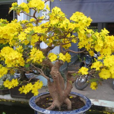 bán cây hoa mai vàng