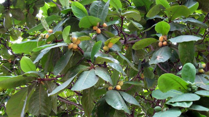 bán_cây_bàng_ta Bán cây Bàng Ta - Cây Công Trình