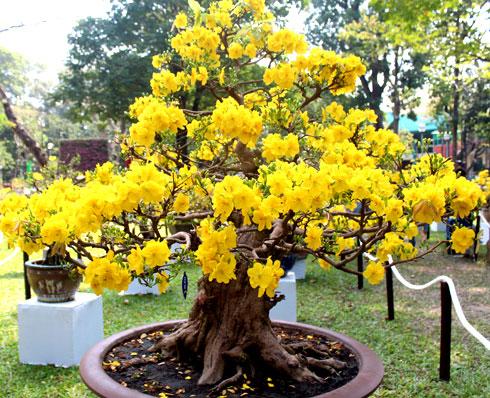cách chăm sóc cây hoa mai vàng