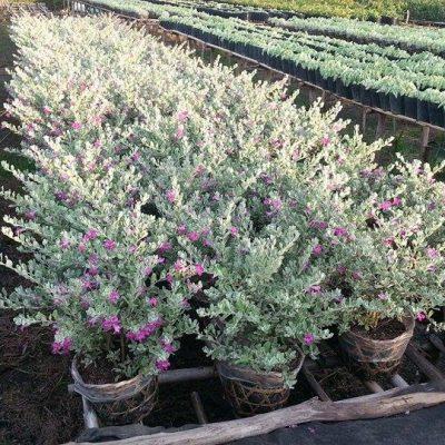 Bán cây tuyết phi sơn hồng – Cây Công Trình
