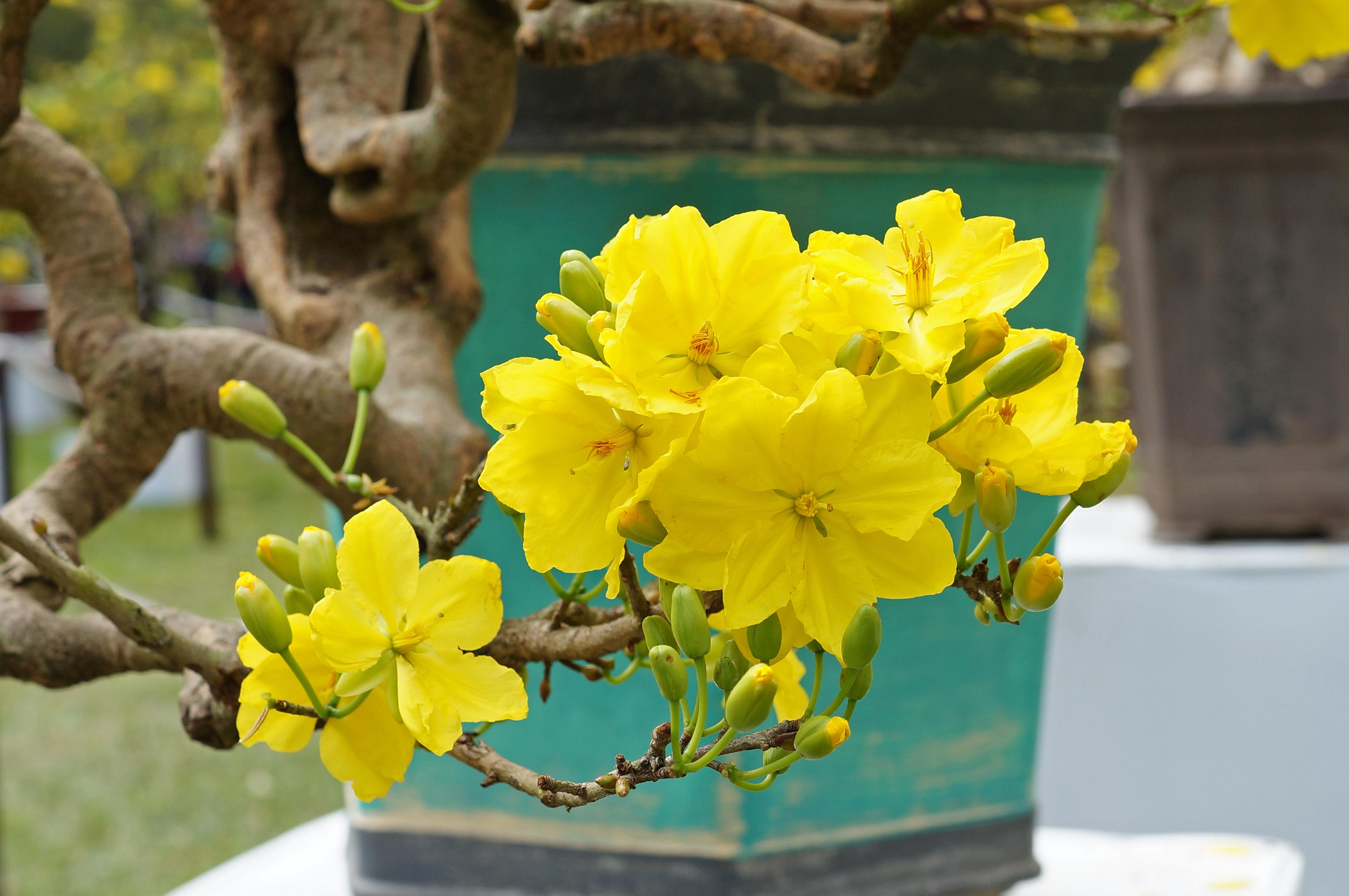 cây hoa mai vàng