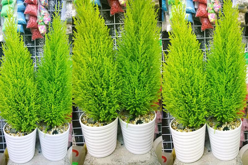 giá-cây-tùng-thơm Cây Tùng Thơm - Cây trang trí noel