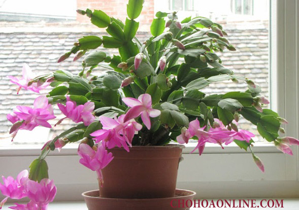 bán_cây_nhật_quỳnh Bán cây Hoa Nhật Quỳnh - Cây Phong Thủy giá rẻ tại Hà Nội