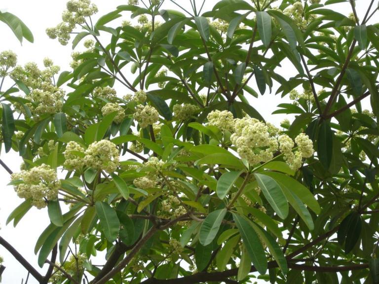 cây-hoa-sữa-giống Bán cây Hoa Sữa - Cây công trình