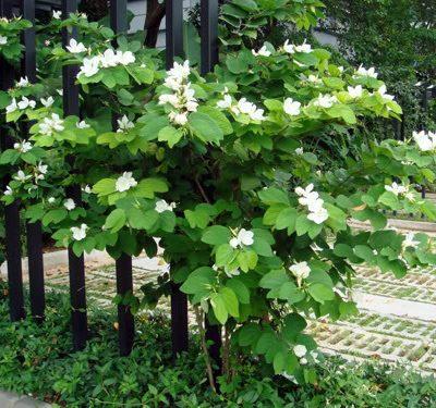 cây móng bò trắng
