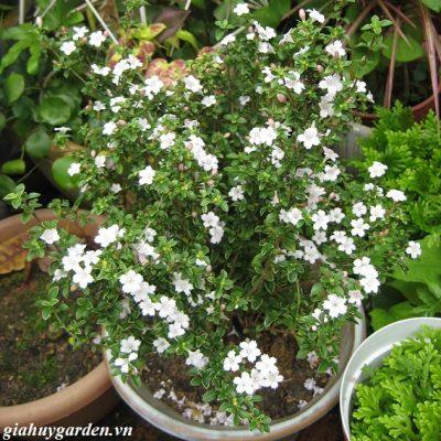 Bán cây bạch tuyết mai – Cây Phong Thủy