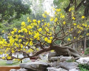 cây hoa mai vàng bonsai