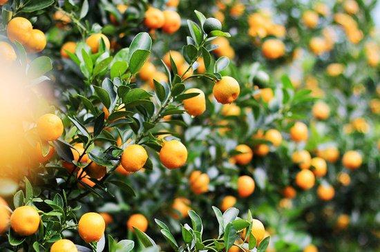 cây_quất_bonsai Bán cây Quất trồng tết 2018 - Cây Trồng tại Hà Nội
