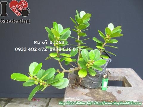 bán_cây_da_nhật-Copy Bán cây da nhật - Cây Phong Thủy giá rẻ Hà Nội