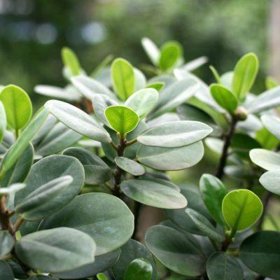 Bán cây da nhật – Cây Phong Thủy giá rẻ Hà Nội