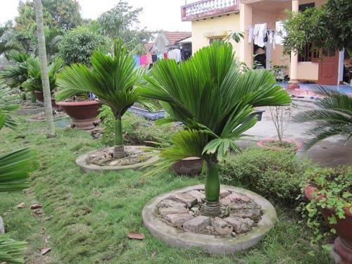 Mua bán cây cau lùn tại Hà Nội