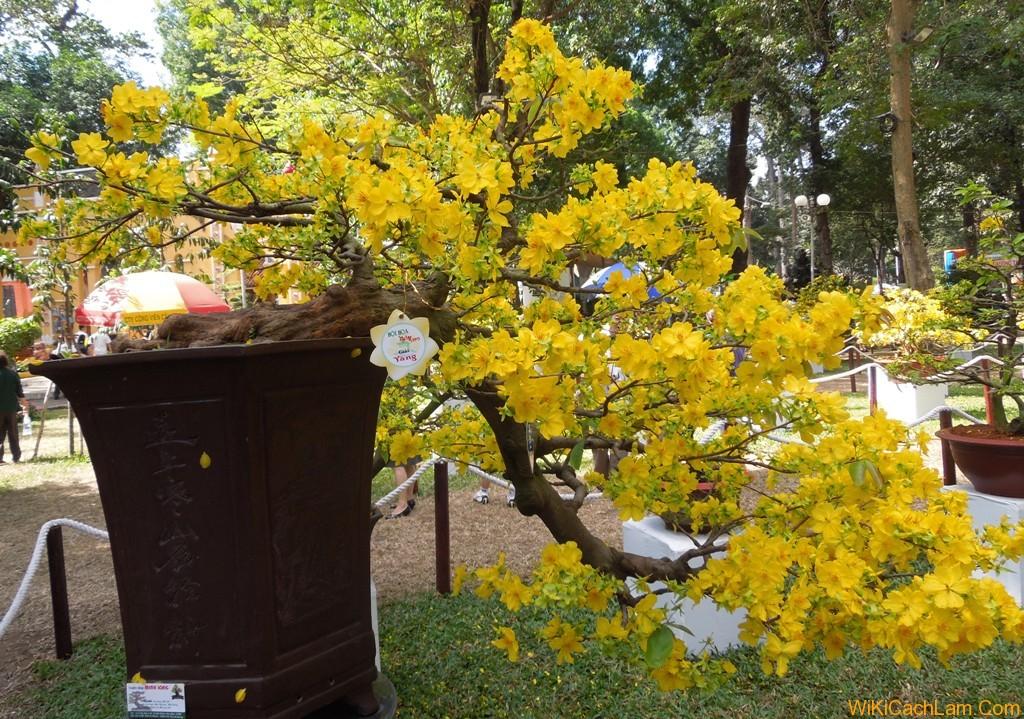 giống cây hoa mai vàng
